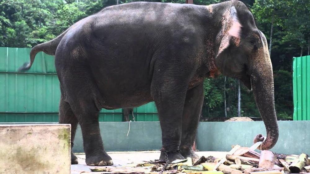 Destino Santuario de Elefantes de Kuala Gandah