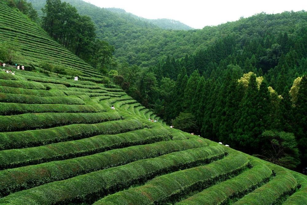 Destino Boseong Tea Fields