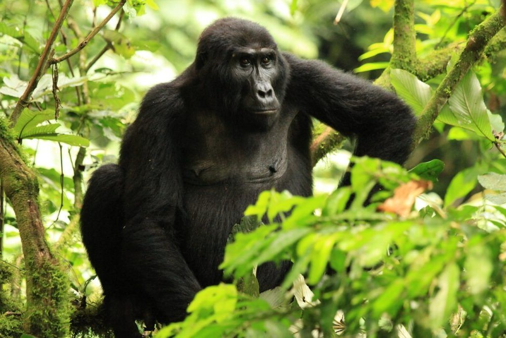 Tour por el Parque Nacional Impenetrable Bwindi