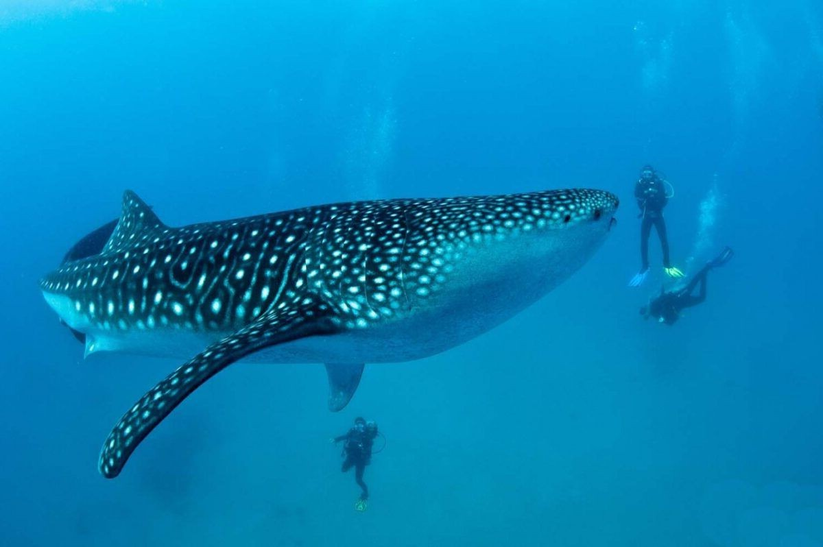 Donsol Bay Whale Sharks